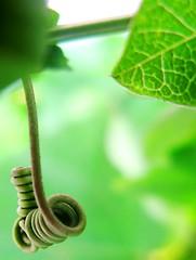 green gardens (Darwin Bell) Tags: plant green shot awesome vine an curly swirl curl challengeyouwinner mywinners anawesomeshot aplusphoto colourartaward