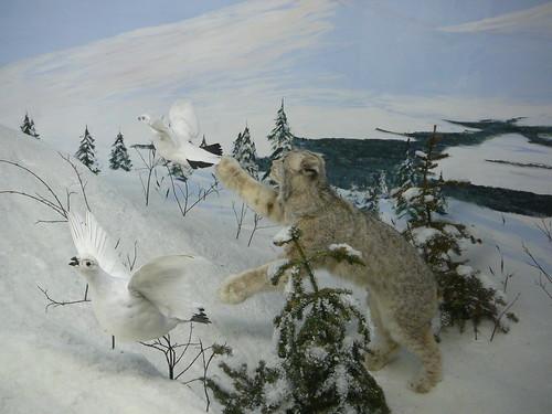 Lynx cazando Ptarmigans