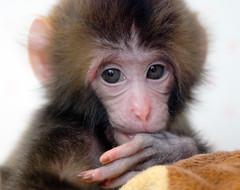 Japanese monkey (floridapfe) Tags: baby eye face animal zoo monkey korea everland  japanesemonkey aplusphoto vosplusbellesphotos