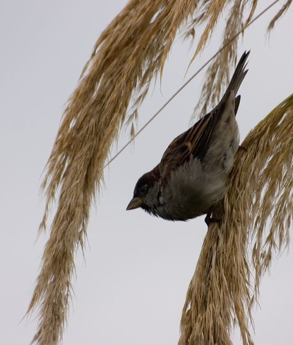 Sparrow on pampus grass (2)