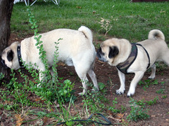 norman sniffing pugsley's butt