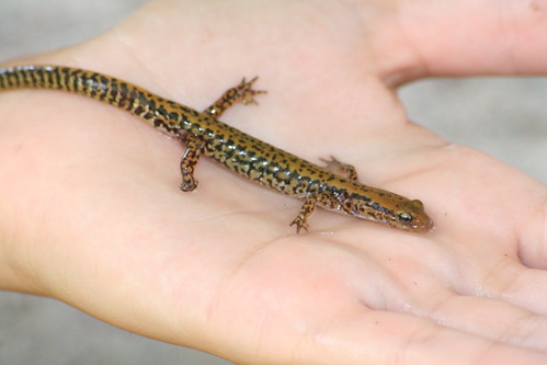 long-tailed salamander