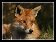 fox portrait (felt_tip_felon) Tags: nature animals bwc mammals britishwildlifecentre vosplusbellesphotos
