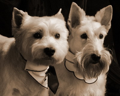 the difference between scotties and westies scottish terrier and