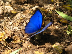 Tengo epoca de ser la mariposa (chocolate_buttons) Tags: blue nature azul butterfly colombia magic natura accordion mariposa magico acordeon cumbia blueribbonwinner singintheblues casanare morphobutterfly yopal picturingthesoundtrackformylife celsopia neverthoughtthatphotographingbutterflieswasthatdifficult