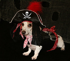 Pirate Levi (geckoam) Tags: dog pet halloween hotdog sausage halloweencostume dachshund wiener pirate levi wienerdog dackel doxie whitedog onblack piratedog piratecostume dogcostume halloweendog halloweenpirate