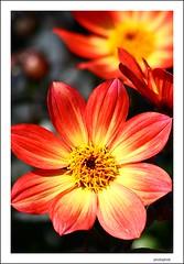 orange dahlia (PHOTOPHOB) Tags: dahlia flowers autumn summer orange plants plant flores flower color macro primavera nature fleur beautiful beauty sex fleurs petals spring colorful flickr dof estate blossom bokeh sommer herbst natur flor pflanze pflanzen blumen zomer verano bloom otoo blomma vero dalie t blume fiore blomst printemps asteraceae outono dahlias dalia lenz frhling bloem jesie floro kwiat dahlie naturesfinest lato lto sonbahar dahlien kvt blomman efterr blomsten dalio excellentsflowers photophob