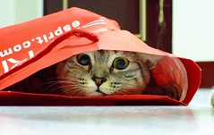 Naughty Kaka (Chrischang) Tags: pet animal cat kaka 貓 queennana