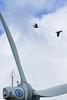 雙飛 (flyyen) Tags: bird wind penghu windturbine 澎湖 windpower canonef100mmmacro 中屯 canoneos450d