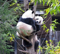 Gadzooks!  Two pandas in the same tree!  -118 (RoxandaBear) Tags: nov playing cold tree mt branches sunday biting climbing dcist pulling swatting 111608 meiandtian goldstaraward treedtogether 2inatree