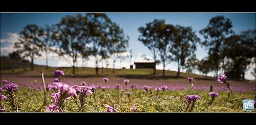 Purple flowers - II