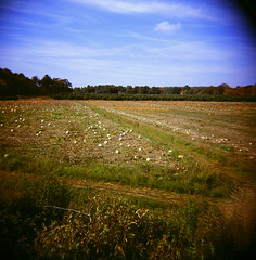 43960001 (The Greenery) Tags: autumn fall film nature field holga outdoor pumpkins pumpkinpatch colorholga color120