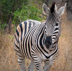 Plains Zebra (Colorado Sands) Tags: africa wild animal southafrica african stripes wildlife south safari zebra afrika nationalparks za sdafrika krugernationalpark kruger limpopo zebras southafrican knp sudafrica  zbre afriquedusud lafrique zuidafrika plainszebra burchellszebra equusburchelliantiquorum photoanimalire limpopoprovince sandraleidholdt sudafrika surfrica afrikasafari leidholdt sandyleidholdt
