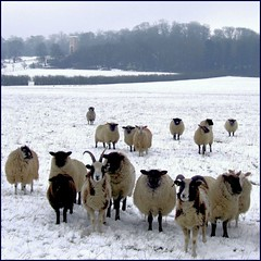 Sheep in the snow (tina negus) Tags: winter snow landscape sheep lincolnshire jacobs 500x500 beltonpark fivegates winner500
