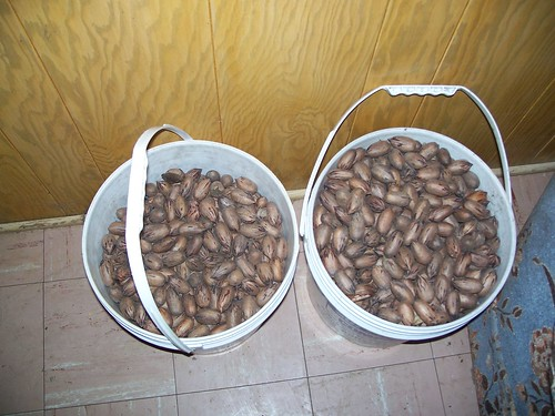 Pecans= Christmas money