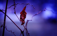 hanging on (ginnerobot) Tags: blue leave last 50mm one leaf weeds bokeh branches dry single hanging curl f18 natureycrap