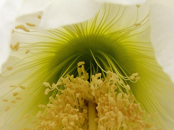 Summer Cacti Flowers 3138844209_3a37d733de_o