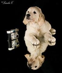 Cachorros de Geisha 65 dias