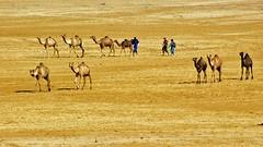 Scattered & Together. (Lucky-S) Tags: india rural landscape desert ethnic camels herd nomads gujarat herdsmen nomadic kutch kachchh thepca pcog chharidhand pcogmeet10