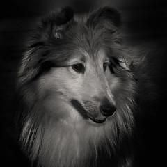 Low_Key_SummerHCB&W (Alphaholik) Tags: dog monochrome canine lowkey sonyalphadslr700 mygearandme mygearandmepremium mygearandmebronze mygearandmesilver alphaholik