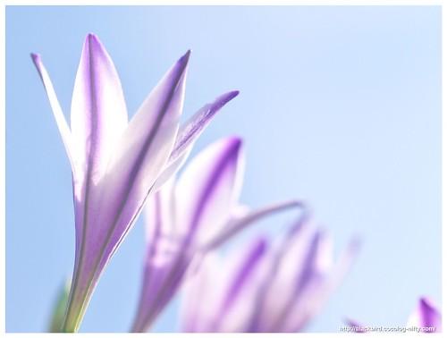 Spring Star 110604 #05