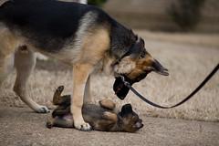 Zelda & Comanche (Sean Davis) Tags: dog dogs big fav50 small fav20 zelda germanshepherd fav30 fav10 fav25 fav100 fav40 fav60 fav110 fav90 fav150 fav170 fav80 fav70 fav75 fav120 fav140 fav160 fav180 fav130 fav125 fav175