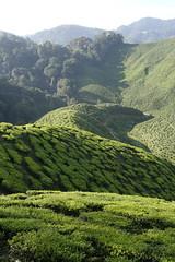 Tea Plantation (micamonkey) Tags: malaysia cameronhighlands teaplantation reccesept07