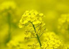 Field Mustard #2 (bluehazyjunem) Tags: field spring mustard 2008 昭和記念公園 aplusphoto diamondclassphotographer flickrdiamond dazzlingshots theperfectphotographer macroflowerlovers natureselegantshot