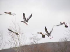 Inverness 2006 034 (John D McKenna) Tags: bird heron duck eagle crane parrot starling ostrich ibis finch kingfisher weaver egret hornbill stork stilt razorbill guineafowl beeeater spoonbill guillemot trogon wader coucal barbet gonolek