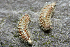 Two bristle millipedes