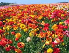A Riot of Ranunculus, Carlsbad, California (moonjazz) Tags: life california pink flowers red sun plant primavera beautiful yellow wow petals spring mix rainbow rojo fiesta cheery bright pastel horizon grow vivid sunny ranunculus commercial bonita stems bloom vista fields crops forever bouquet carlsbad mixture vast supershot 5photosaday mywinners platinumphoto impressedbeauty aplusphoto ultimateshot diamondclassphotographer theunforgettablepictures flickrlovers