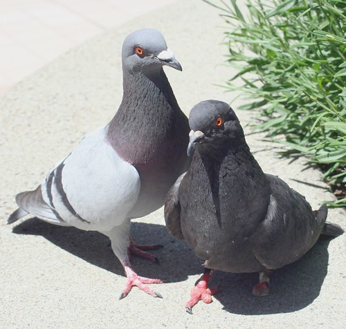 Photo of two coupled pigeons, one with amputated toes