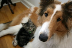 A couple of months ago... (~ Liberty Images) Tags: friends dog cute cat canon puppy rebel interestingness kitten collie buddies sweet adorable sable kitty pals explore buckley unlikely dogandcat benedict roughcollie xti sablecollie 492explore explore25june2008