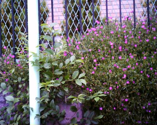 【写真】VQ1005で撮影した石垣の上に咲くピンクの花
