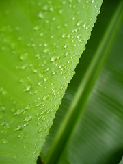 Another banana leaf (#Panama) Tags: bananaleaf greenworld green verde afterrain drops abigfave platinumphoto anawesomeshot naturesfinest colorphotoaward  vert fave favorita colorful tropical colorido tropic al masvistas mostviewed    grn  grnn alias za   artabstrait  greatnature