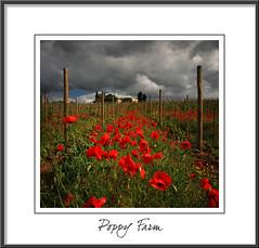 Poppy Farm (rusmi) Tags: farm tuscany poppy toscana papaveri