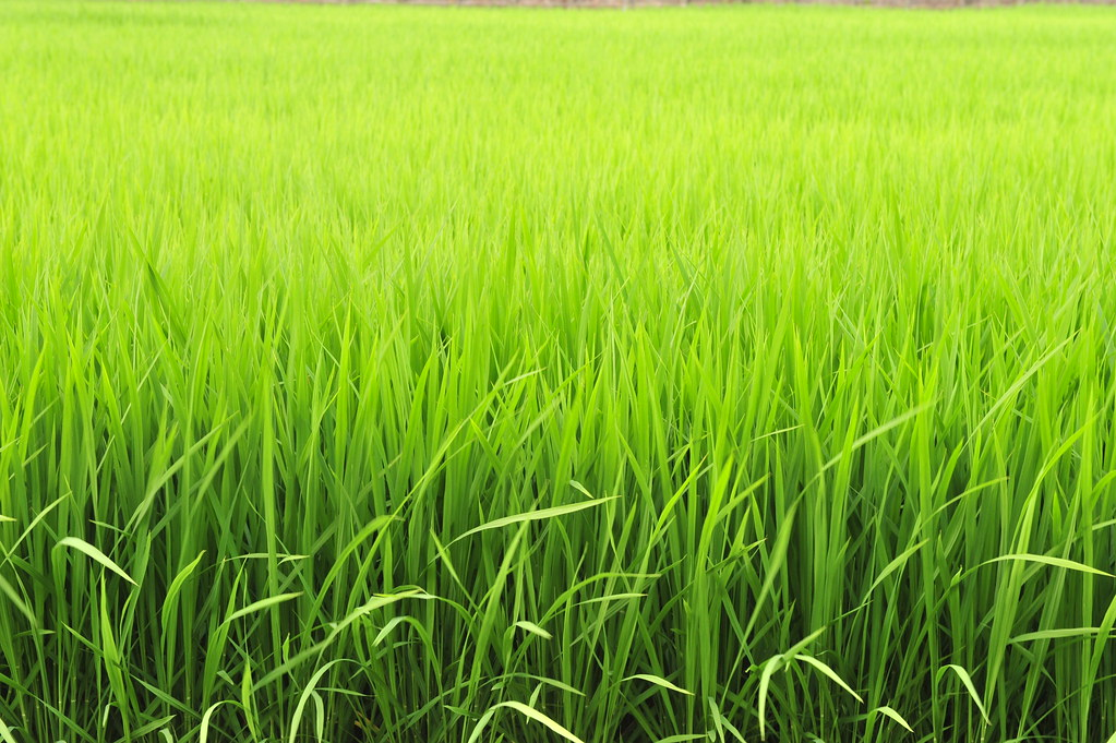 rice field-7?????DSC 0241