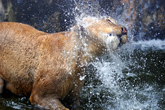 Lion (floridapfe) Tags: summer water face animal zoo nikon lion korea heat splash everland  naturesfinest  aplusphoto