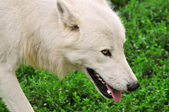 Walking arctic wolf (Tambako the Jaguar) Tags: portrait dog white snow france cute face tongue closeup walking zoo nikon wolf close head canine canadian arctic doggy openmouth lupus wuff d300 canis amnville flickrlovers