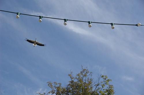 Stork Flying at Munster