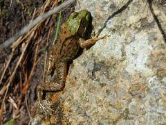 frog profile (Trevor Finn) Tags: frog muskoka lakemuldrew