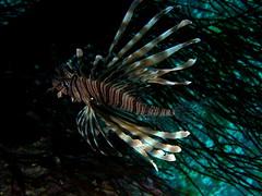 Pez escorpión / lionfish (Pterois miles) (copepodo) Tags: pez fauna redsea diving jordan miles lionfish aqaba buceo jordania submarinismo marrojo escorpion acuarios pterois escorpaenidae pecesypaisajismomarino