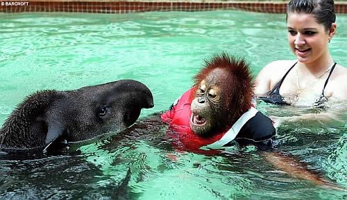 Baby orangutan learns how to swim
