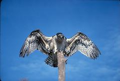 aguila percha (cubamagica) Tags: pato avestruz gaviota flamenco cisne loro pinguino bho patos buitre ganso ciguea cigueas halcon pelicano guila zanco avoceta