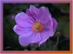 Mauve Flower (bonksie61) Tags: flower mauve allstar smörgåsbord digitalcameraclub almostanything anythingdigital thisfeelsgood apeachofashot anythingbutshoelaces
