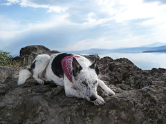 Ringo Above Klamath Lake (ex_magician) Tags: pictures portrait oregon portraits landscape lumix photo interesting cross photos picture images panasonic cattledog bordercollie ringo dsc dingo acd lightroom blueheeler moik rescuedog klamathfalls cowdog traildog klamathlake upperklamathlake chiloquin trailbuddy 97601 lumixaward tz5 dmctz5 ringodingo cowardlycowdog hagelsteinpark chiloquinridge dsctz5 mountainbikedogs mountainbikedog bestrunningdog bestdogforrunning bestdogformountainbiking blueheelerbordercollie blueheelerbordercolliecross bordercollieblueheeler