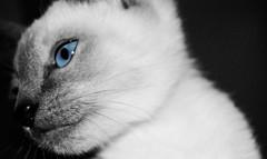 Blue Eyes (jami_lee) Tags: blue bw white black cute cat grey kitten gray siamese bestofcats thechallengefactory