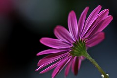 Aster spp. (Fearon-Wood Photography) Tags: pgw platinumphoto colourartaward mimamorflowers bestflickrphotography dragon