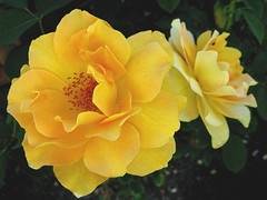 Yellow roses. (JannK) Tags: fab flower rose socal southerncalifornia naturesfinest blueribbonwinner golddragon flowersandcolors flowerwatcher betterthangood natureselegantshots mimamorflowers awesomeblossoms kunstplatzlinternational