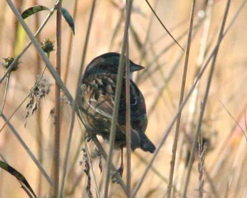 Swamp Sparrow 20081004